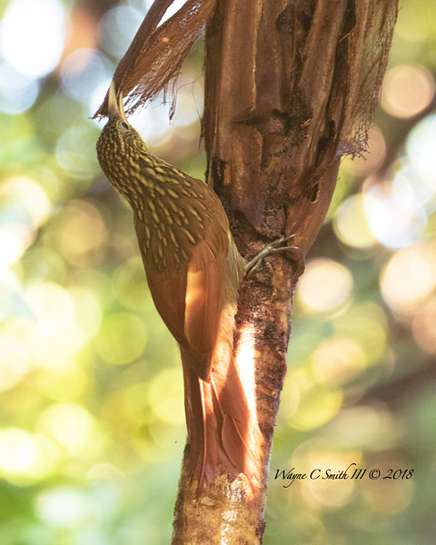 Ivory Billed Creeper in Rain Forest Gathering Frond