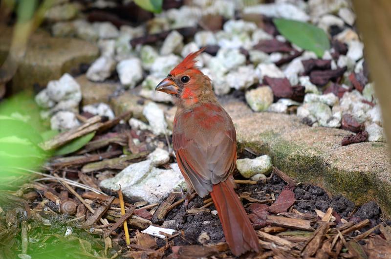 7_5_19 A Young Cardinal.JPG