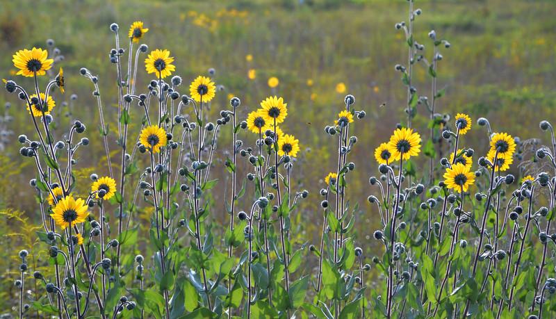 Sunflowerspointingtothesun.jpg