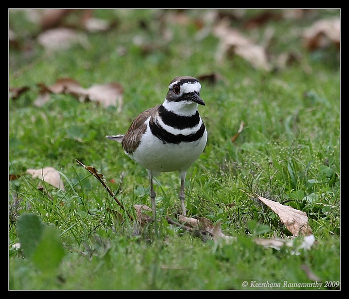 Killdeer, Lake Hodges, San Diego County, California, February 2009