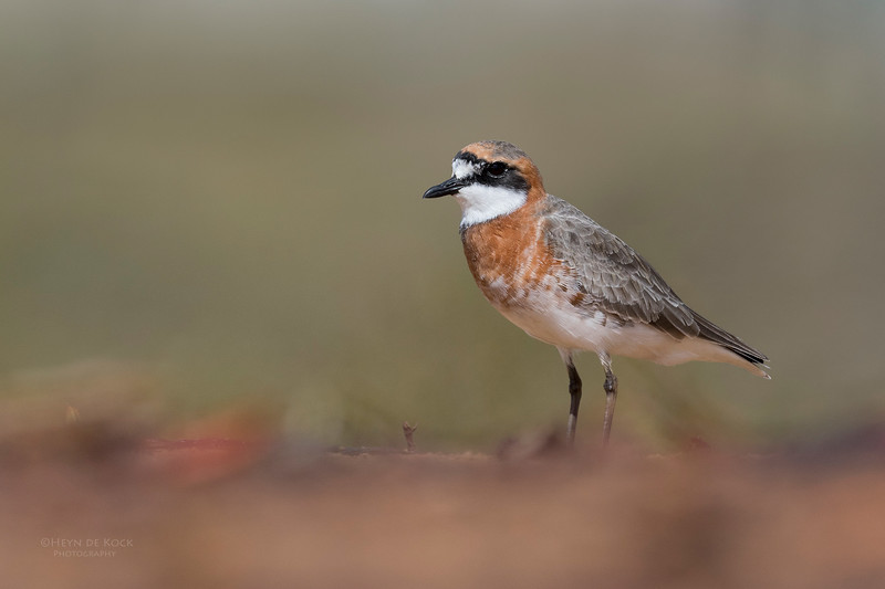 Lesser Sand Plover, Boonooroo, QLD, March 2017-3a.jpg