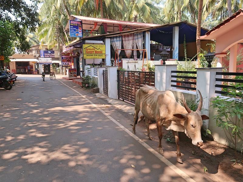 IMG_7757-street-cow.jpg