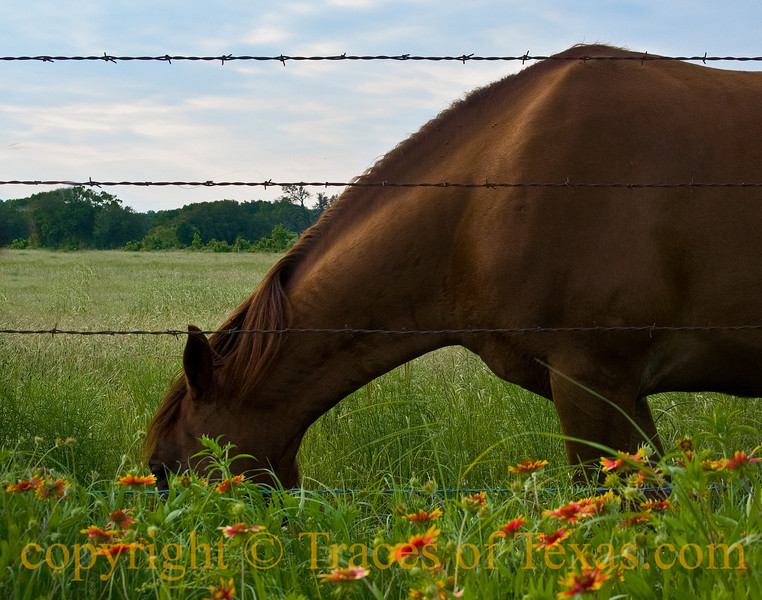 Horseyopsis