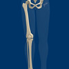 Skeleton of Right Lower Extremity, Portrait