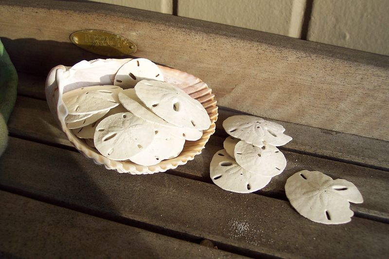 A scattering of sand dollars