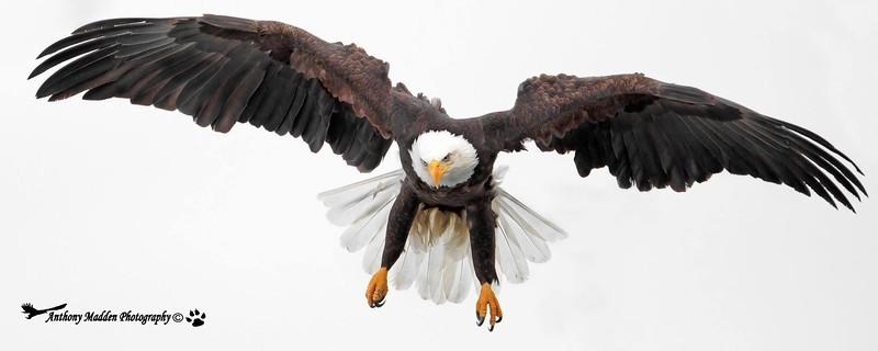 Bald Eagle Homer, Alaska Lands End on the Spit