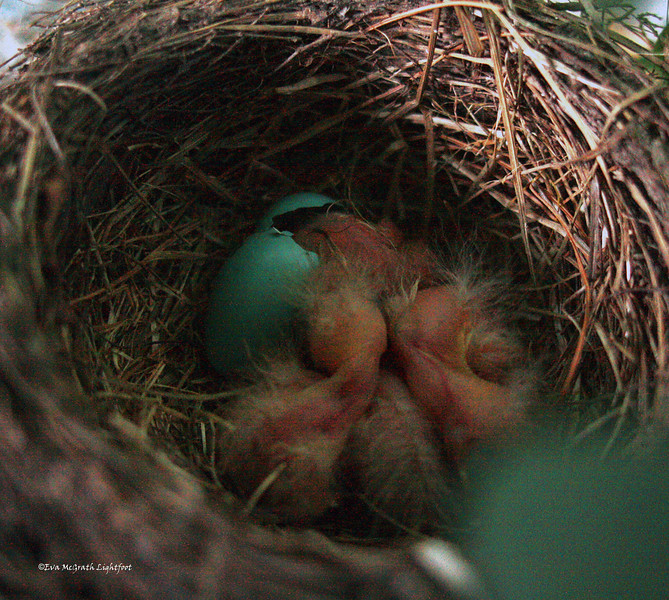 June 21, 2009, Father's Day at 5:30 AM. The last of the four eggs hatched. Mama wasn't happy with me taking pictures. She had been out collecting breakfast. She flew over my head to tell me to stop bothering the children.