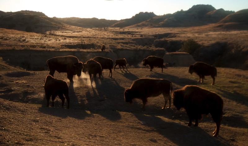 Bison Teddy Roosevelt National Park ND IMG_6079.jpg