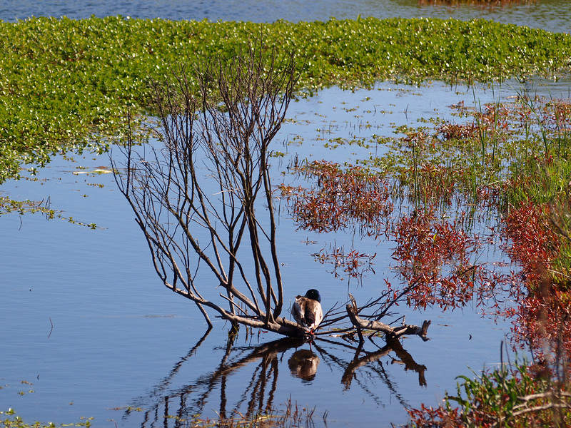Closeup Duck on branch in pond, Briones
