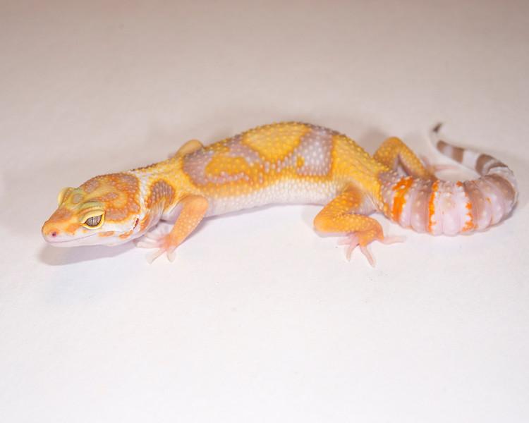 LG4015, $35, Tremper Albino, TSF, 25 grams