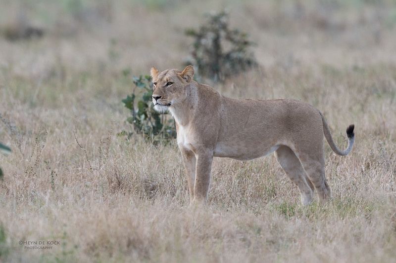 African Lion, Savuti, Chobe NP, Botswana, May 2017-28.jpg