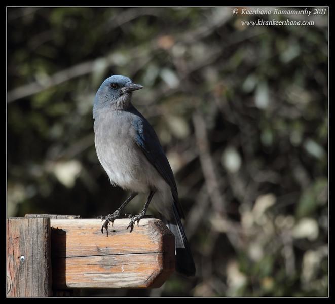 Mexican Jay at the Santa Rita Lodge, Madera Canyon, Arizona, November 2011
