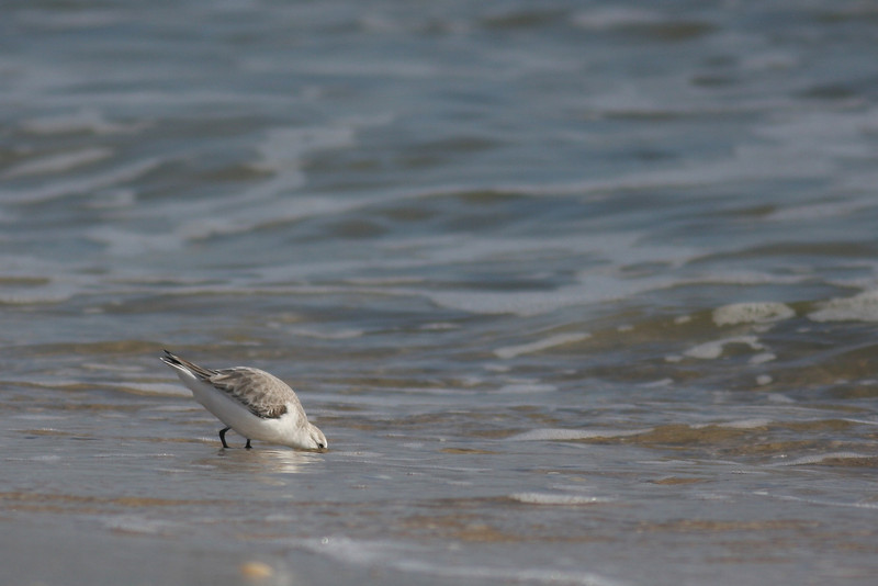 A plover at Cupsogue.