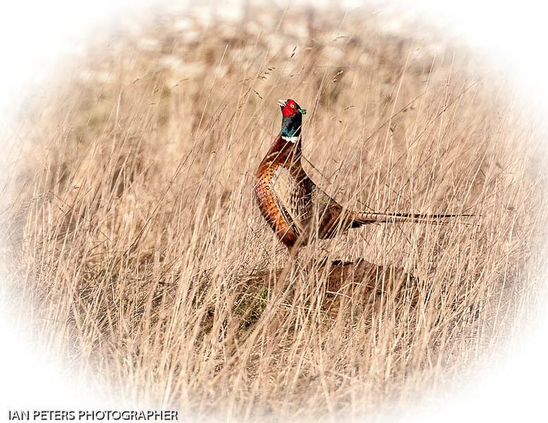 Pheasant-6607.jpg