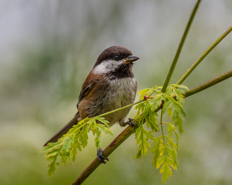 Chestnut-backed Chickadee,