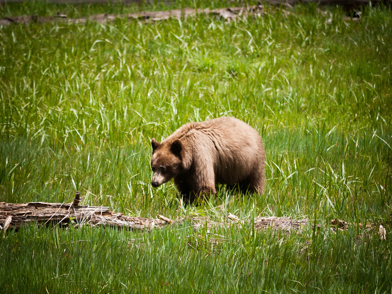 Sequioa_062011_Bear 1.jpg