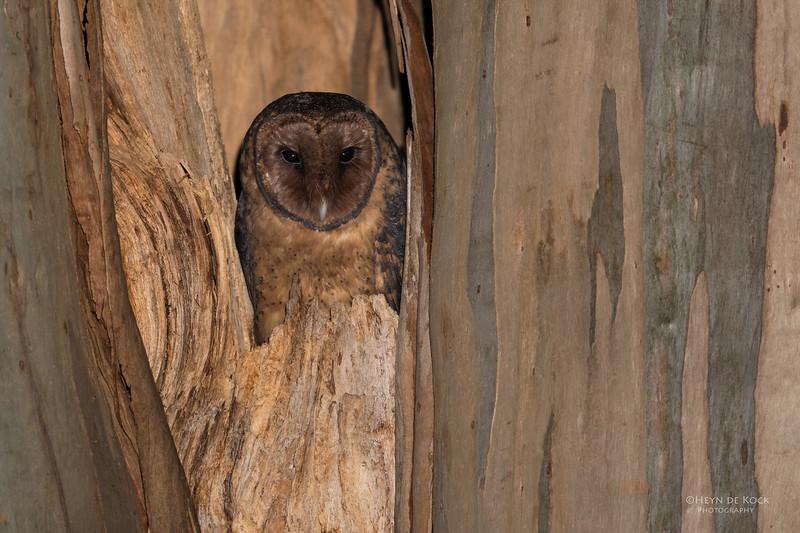 Masked Owl, Port Arthur, TAS, Sept 2016-4.jpg