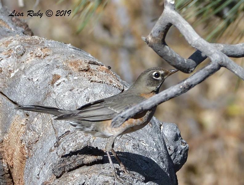 American Robin 11/16/2019 - Mt Laguna, Water Trough West Meadow