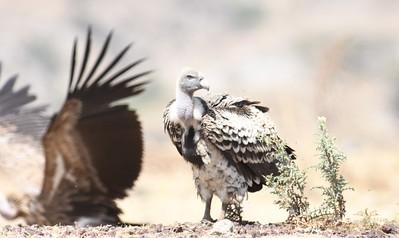 A 10 Vultures-Geier