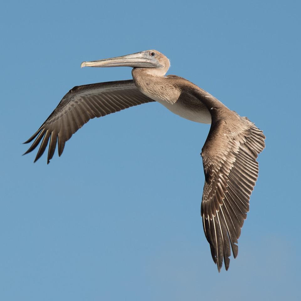 Pelican off the shore of Cocoa Beach.