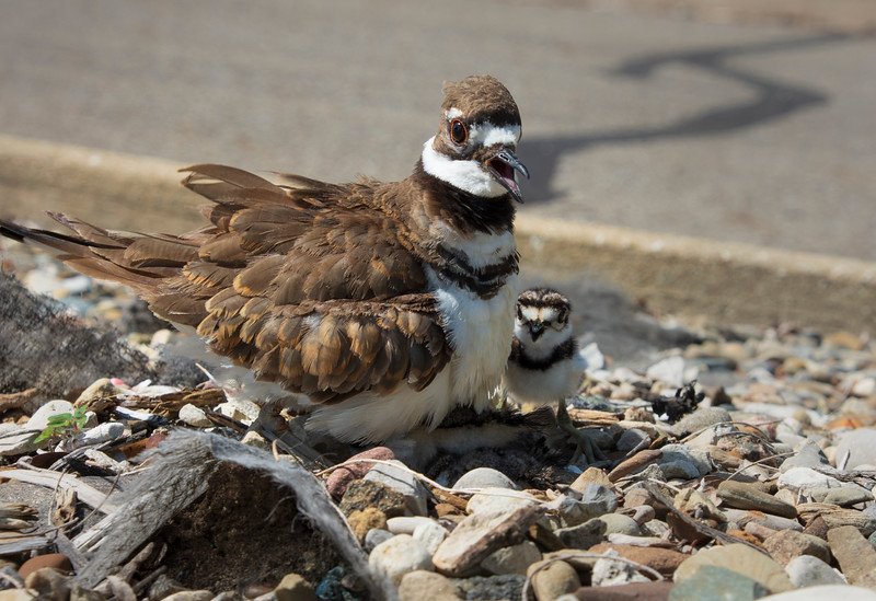 Killdeer-hatchling-parent-Lowes.jpg