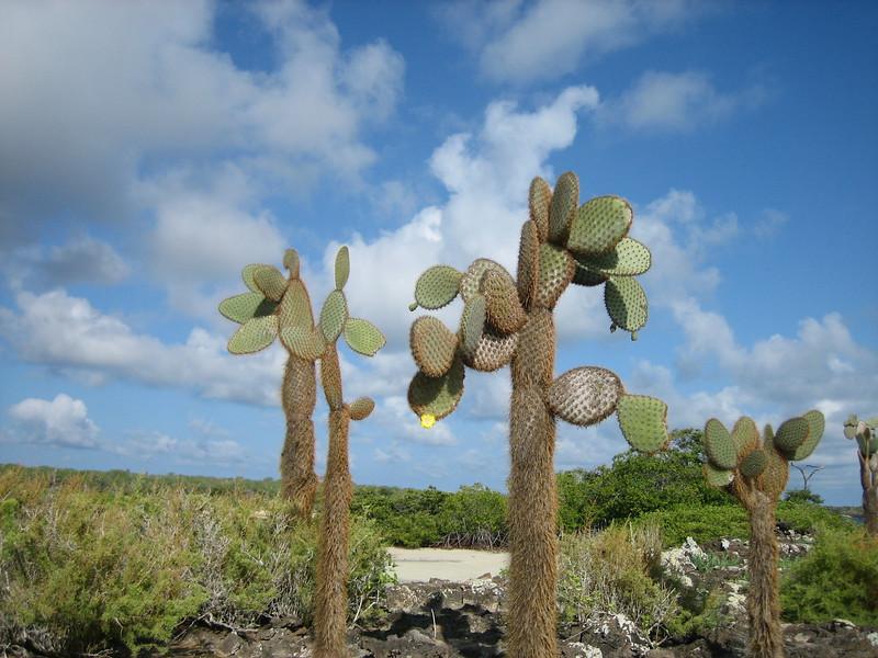 2007-02-22-0022-Galapagos with Hahns-Day 6-Santa Cruz Highlands-Prickly Pear Cacti.JPG