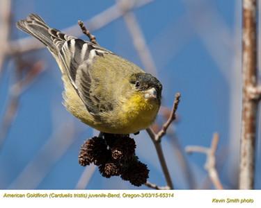 American Goldfinch J65315.jpg