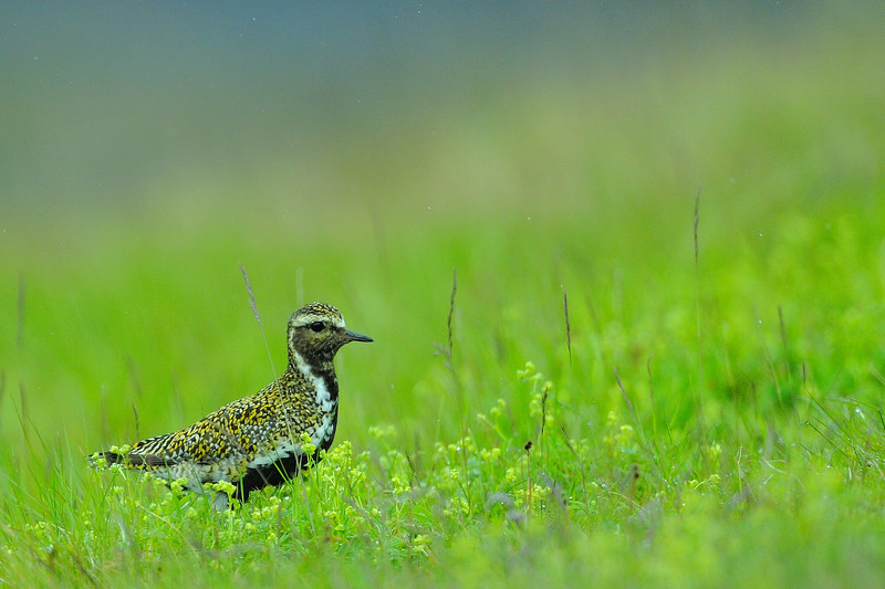 Golden Plover