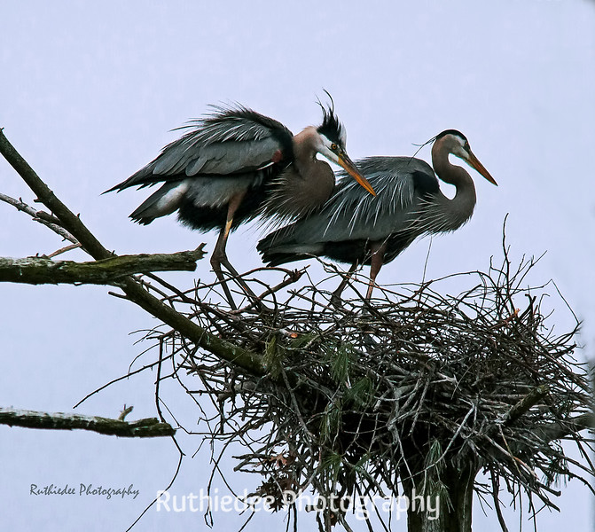 Mating pair in nest...