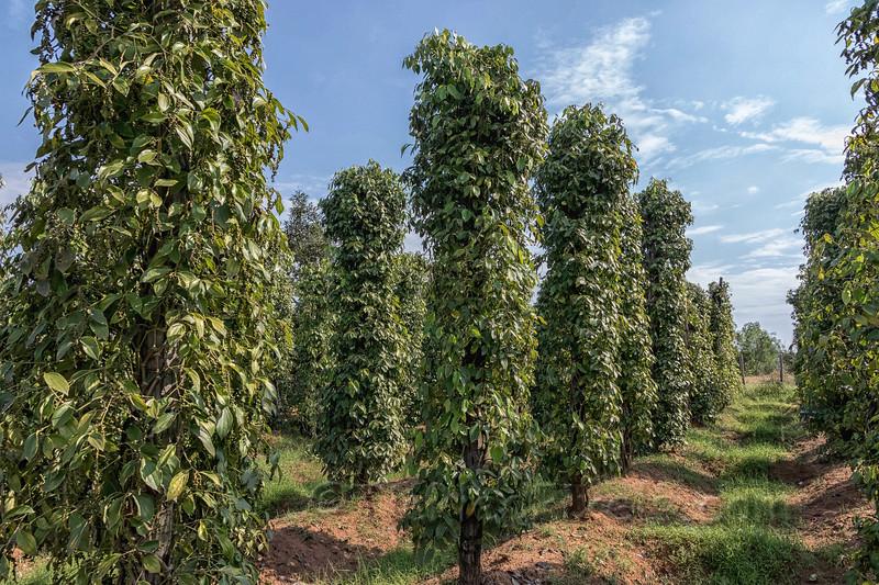 Kampot Pepper Vines