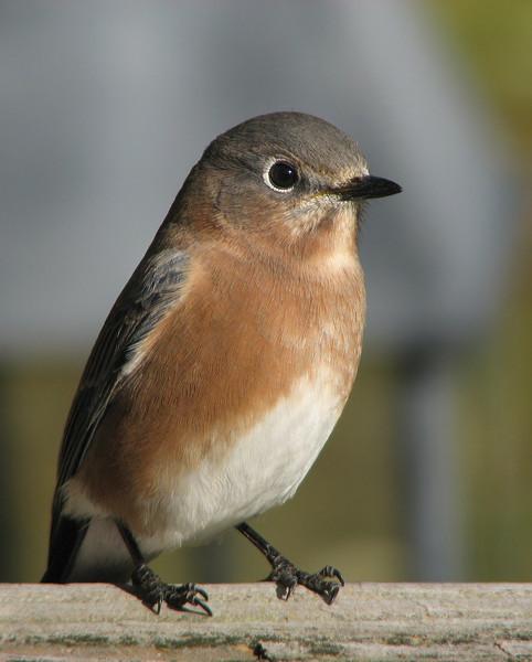 bluebird_5099.jpg