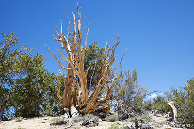Bristlecone Pines and Chocolate Lakes 2013