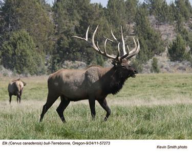 Elk M57573.jpg