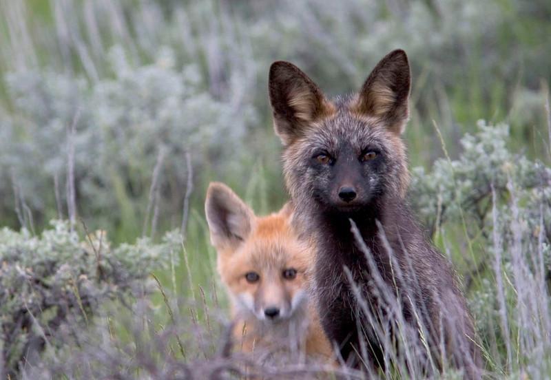 red fox003.jpg