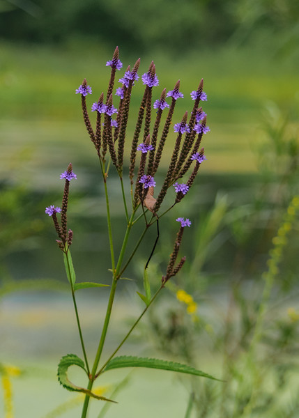 Blue Vervain (Verbena hastata) seen at Potato Creek State park, North Liberty, IN