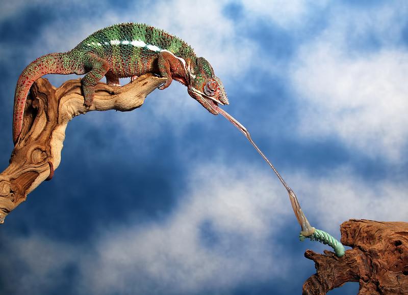 Chameleon Takes Hornworm By The Horns.jpg