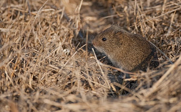 Mice, Rats and Voles
