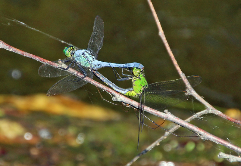 Blue and Green Dragonflies 2