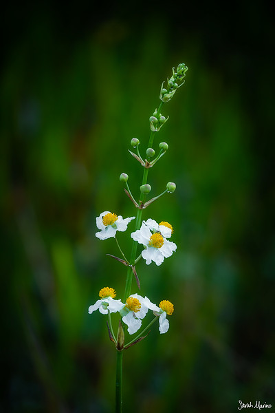 Wetland Wildflowers