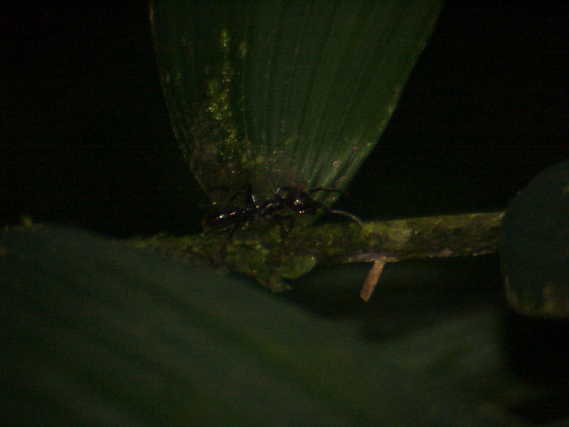 Bullet Ant at La Selva Costa Rica 2-11-03 (50898073)
