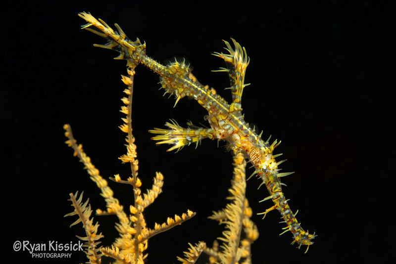 An ornate ghost pipefish blends in extremely well with its background