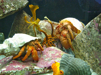 Hermit Crabs. But these are about the size of your fist.