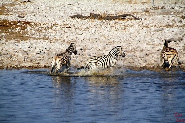 Zebras in Eotsha National park, Namibia 4