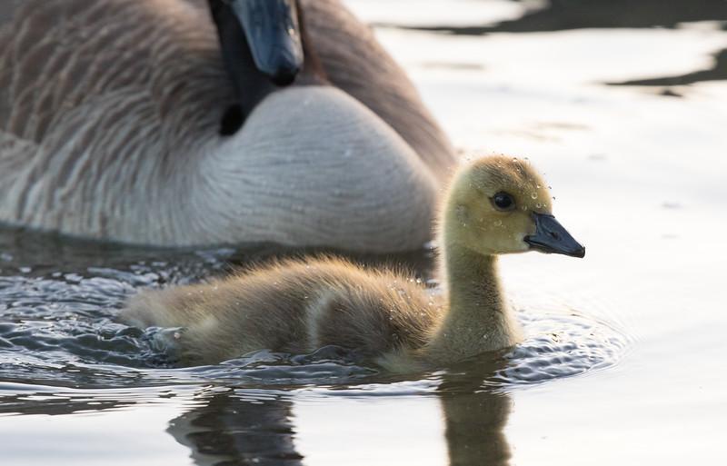 Baby Geese 72.jpg