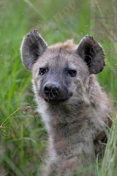 IMG_2648 Spotted Hyena.jpg