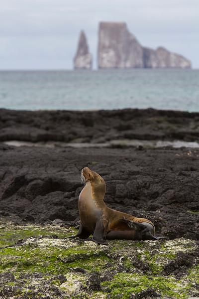 Sea Lion w Kicker Rock on Cerro Brujo, San Cristobal.jpg