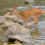 Deer crossing a stream