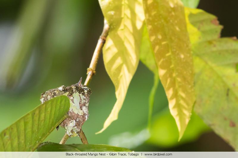 Black-throated Mango Nest - Gilpin Trace, Tobago