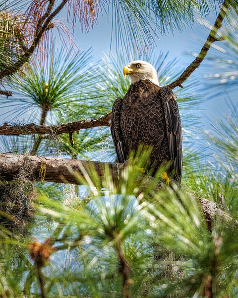 Eagle_DSC9364-copy.jpg