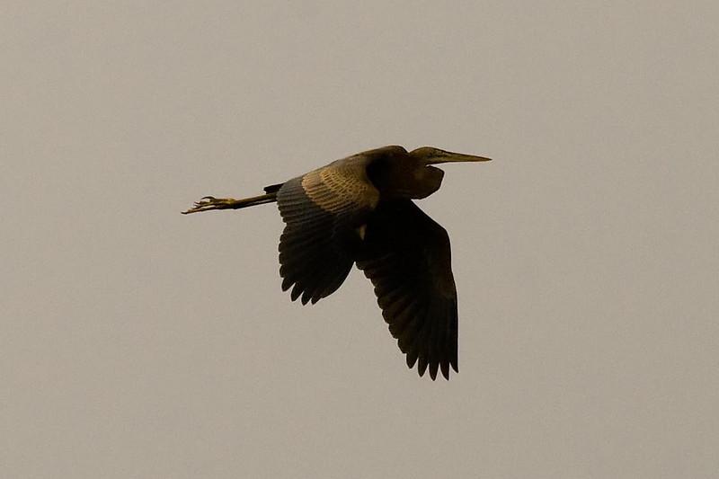 Purple Heron at Long Valley, Hong Kong, China (11-8-08).psd